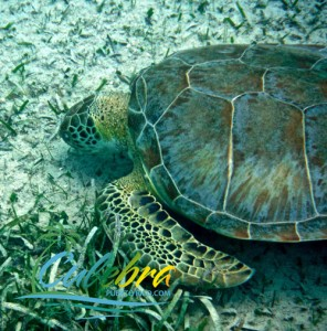 Swimming with Turtles - Culebra, Puerto Rico
