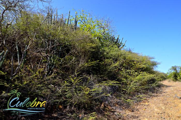 Flora in Culebra - Dry Brush / Cacti